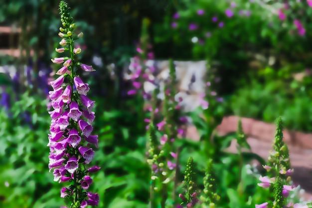 庭の紫色のジギタリスの花 Premium写真