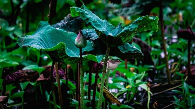 蓮の花のつぼみと植物 Premium写真