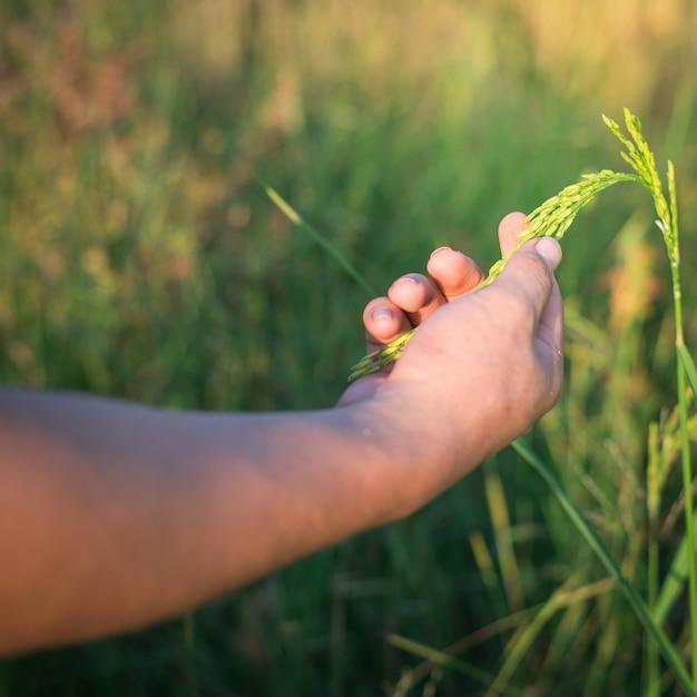 水田、農業で日光と米をそっと保持農家手 Premium写真