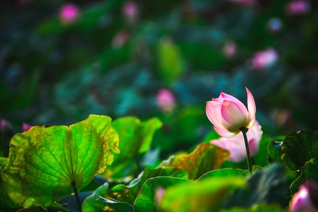 クローズアップ池の美しいピンクの蓮の花。 Premium写真