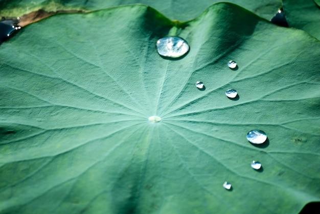 プールの蓮の葉の美しい水滴。 Premium写真