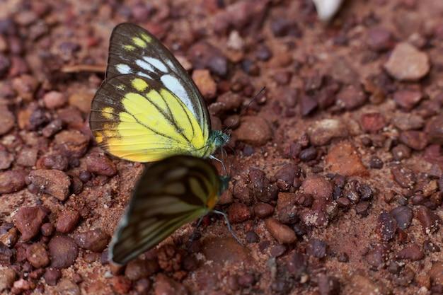 美しい蝶選択フォーカスまたはアウトフォーカス、地面にクローズアップ蝶 Premium写真
