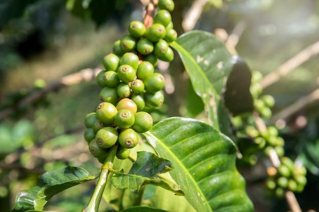カフェプランテーションのグリーンコーヒー果実とコーヒーの木。 Premium写真