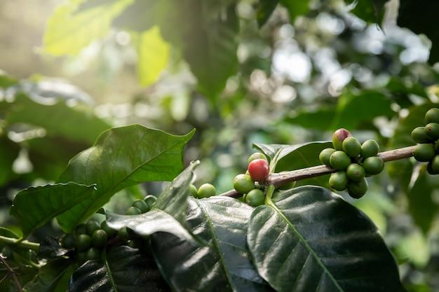 カフェプランテーションの赤いコーヒー果実とコーヒーの木。 Premium写真