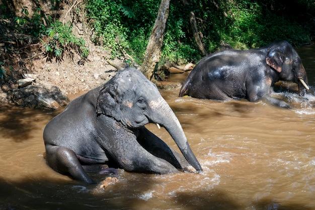 象のキャンプで川で入浴するアジアゾウ Premium写真