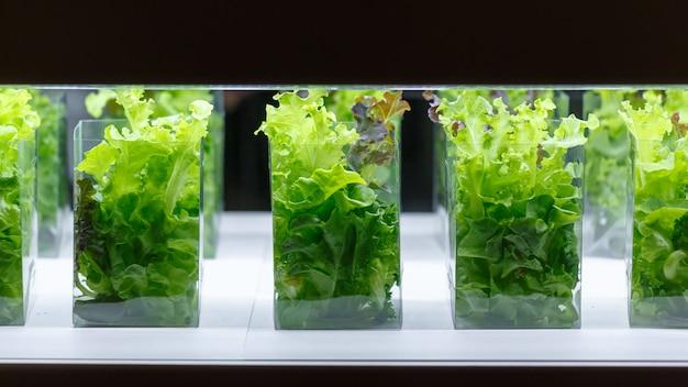 Зеленый дуб салат из водных растений в комнате культуры ткани Premium Фотографии