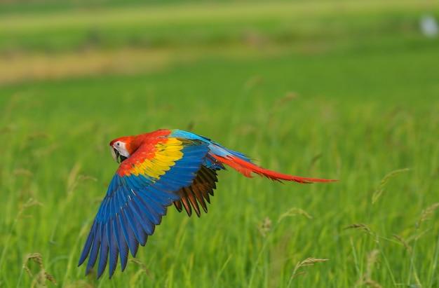 フィールドでの美しいコンゴウインコ飛行飛行アクション Premium写真