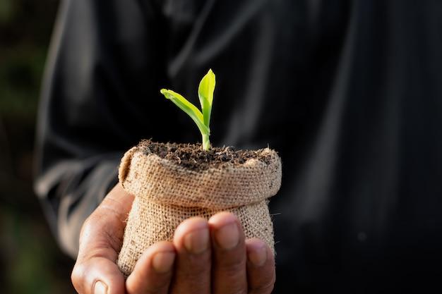 トウモロコシの苗が成長しています。 Premium写真