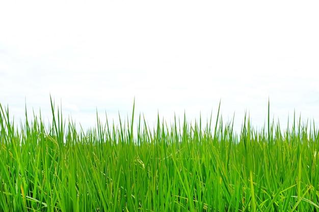 Молодой зеленый рис в полях риса против предпосылки неба облака. Premium Фотографии
