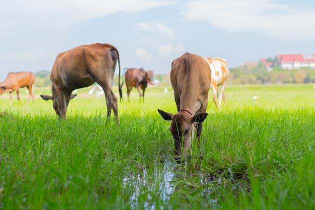 天気の良い日に緑の野原で農場で放牧牛 Premium写真