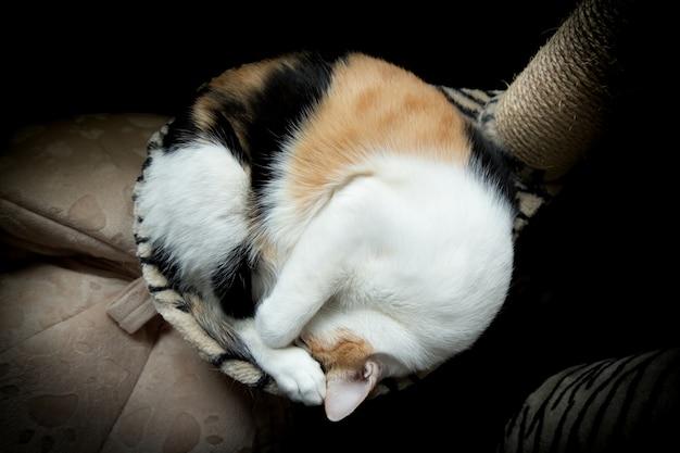 太った猫は、猫の木のソファで丸くなってボールになりました。 Premium写真