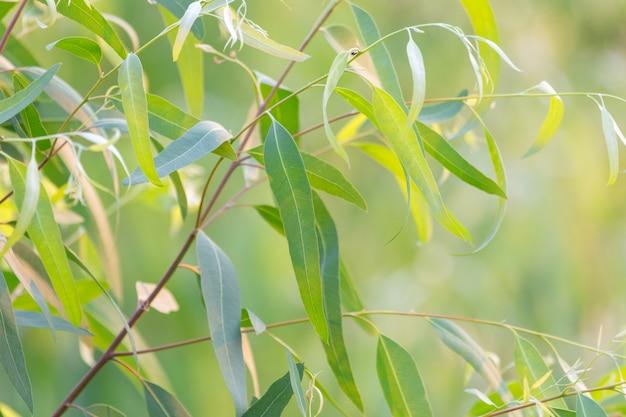 新鮮な緑のユーカリの葉 Premium写真