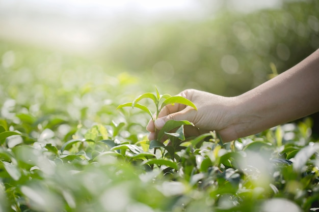 Крупным планом рука с сбором свежих листьев чая в натуральной органической ферме зеленого чая Premium Фотографии