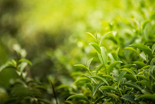 朝の農場で葉緑茶 Premium写真