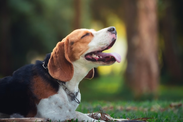 Портрет милого щенка бигля в саду Premium Фотографии