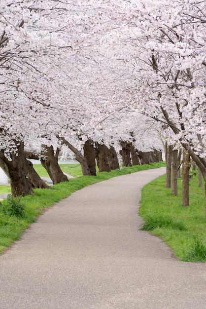 春に咲く桜の花の背景 Premium写真