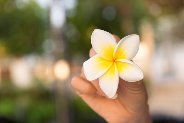 バックグラウンドで手の光のボケ味でプルメリアの花を保持します。 Premium写真
