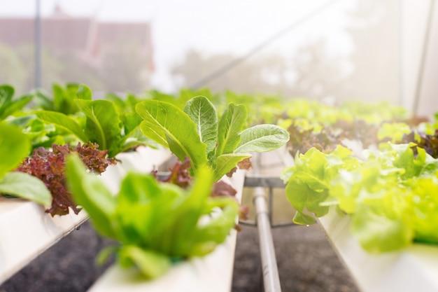 有機野菜は農場内で栽培されています。有機緑葉野菜は健康を愛する人に適しています。現在、有機農業が広く行われています。 Premium写真