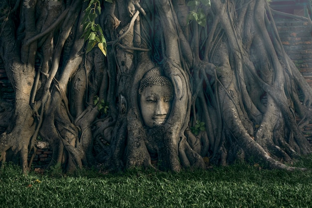 タイのプラナコーンシーアユタヤの古い寺院の木の下で古代の仏頭 Premium写真