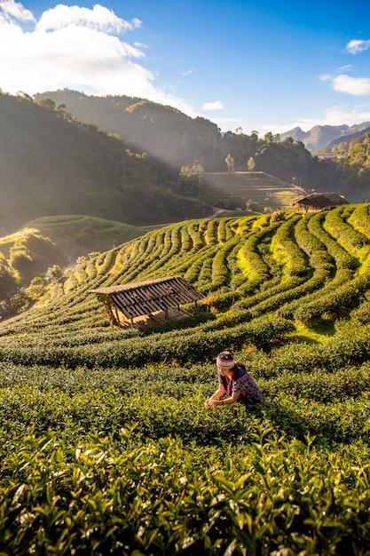 朝、タイのチェンマイの茶園で茶葉を集める若い女性がいます。 Premium写真
