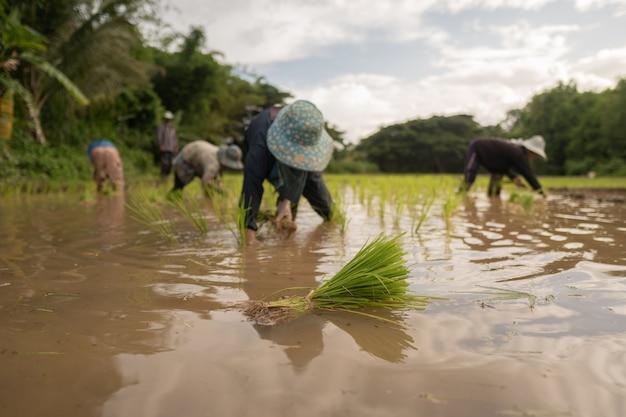 アジアの農民ライス、地面を蹴る Premium写真