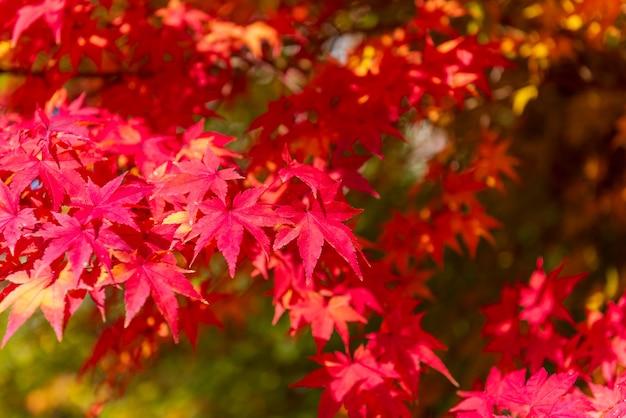 秋のメープルツリーの背景色 Premium写真