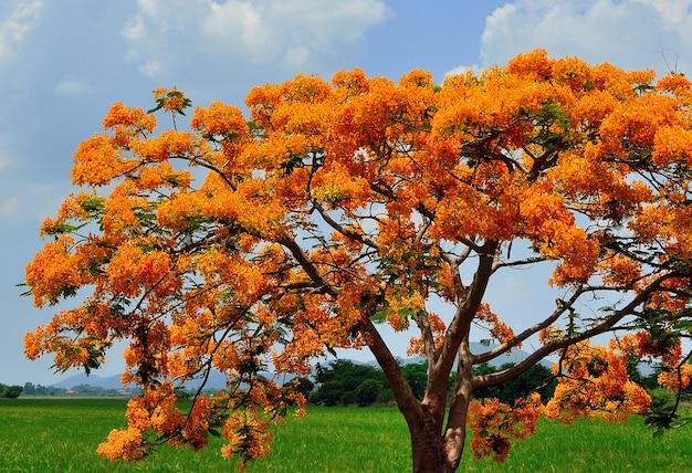 グループデロニクスレジア花のクローズアップ Premium写真