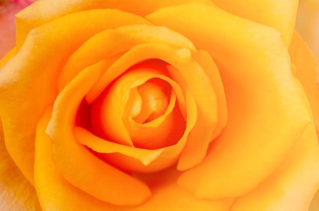 分離された白とぼやけて黄色いバラ Premium写真