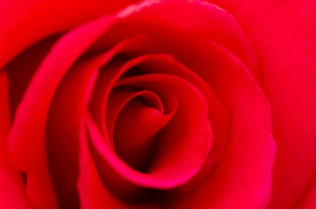 赤いバラは、ぼやけたパターンの背景とぼやけています。 Premium写真