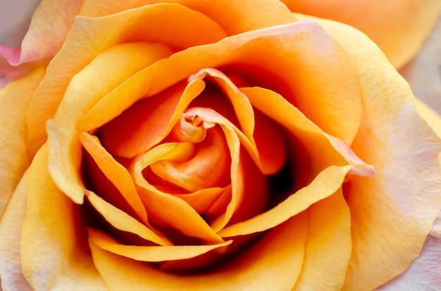 ぼやけているとぼやけているオレンジ色のバラ Premium写真