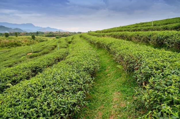 周囲の丘の上の緑茶畑の眺め Premium写真