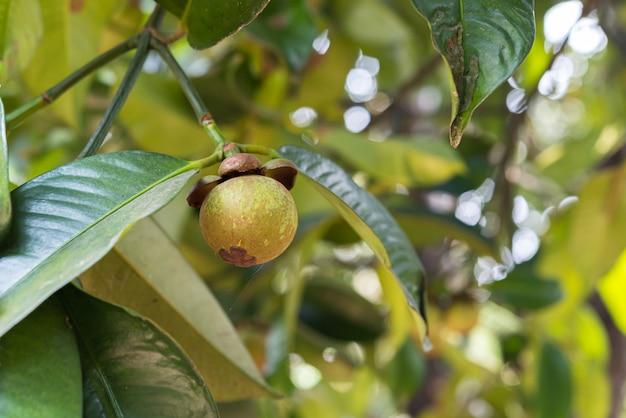 マンゴスチンマンゴスチンの木の果実の女王 Premium写真