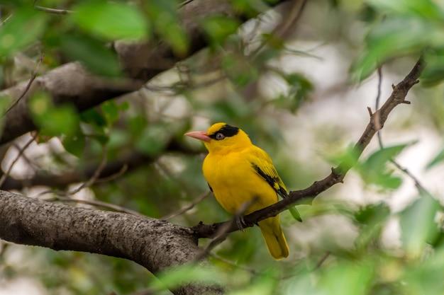 庭の木に鳥(ブラックナペットオリオ、オリオラス・チネンシ)黄色 Premium写真
