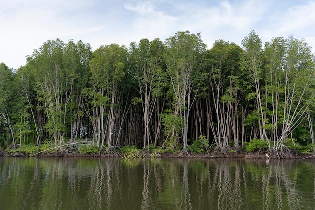 新鮮な水とマングローブ林 Premium写真