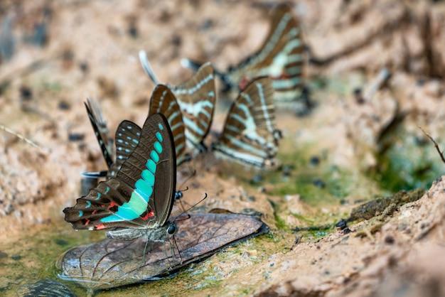 美しい蝶。ミネラルを食べに来て Premium写真