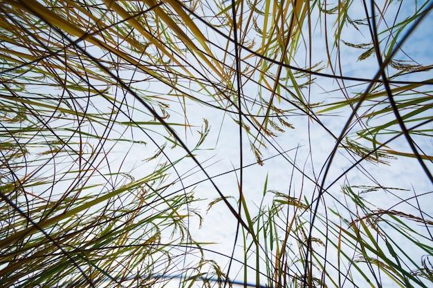 Рисовые поля с фоном голубого неба Premium Фотографии