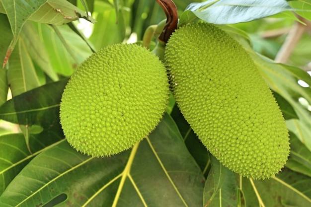 熱帯のブレッドフルーツの木 Premium写真