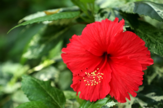 熱帯のハイビスカスの花 Premium写真
