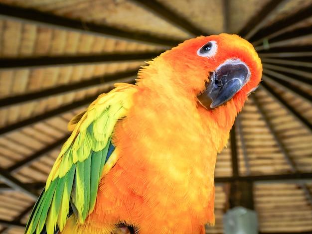 Красивое желтое и оранжевое солнце попугай птица попугаев Premium Фотографии