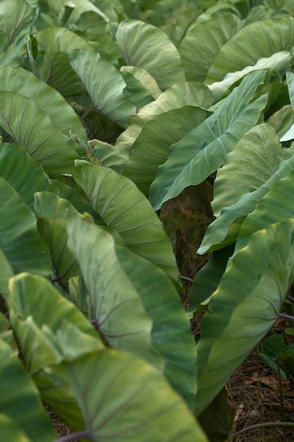 ジャイアントタロジャイアントタログリーンブッシュ、二年生植物 Premium写真