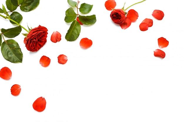 白地に美しい赤いバラ Premium写真