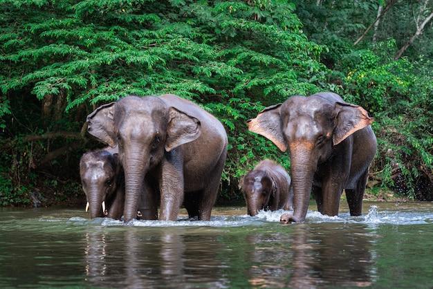 Семья слонов в воде Premium Фотографии