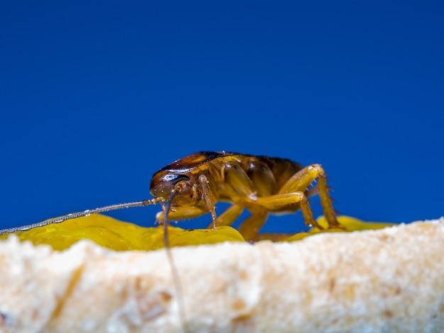 クローズアップゴキブリがパン、青い背景の言葉に黄色いジャムを食べています。 Premium写真