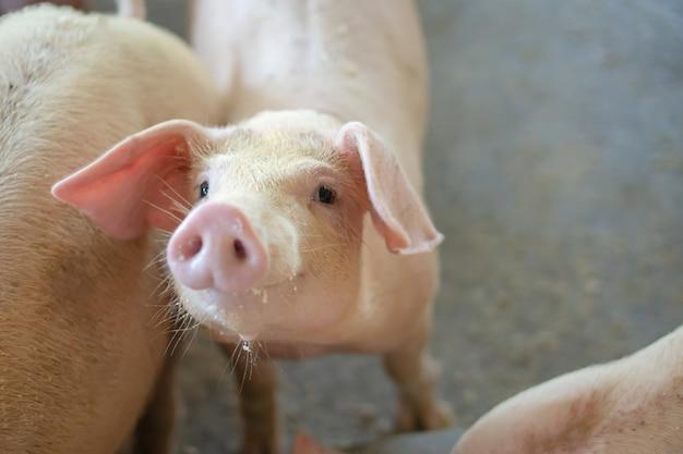 家畜の地元の養豚場で健康的に見える豚のグループ。 Premium写真