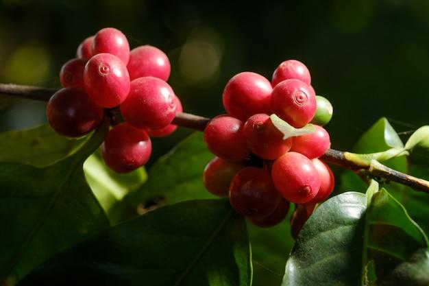 自然の中の豆コーヒーを閉じる Premium写真