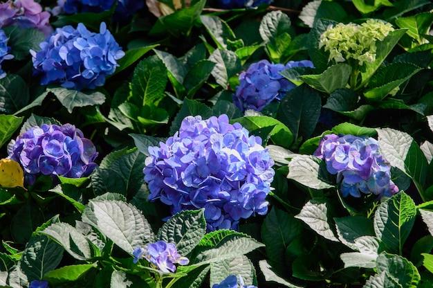 青と紫のアジサイの花 Premium写真