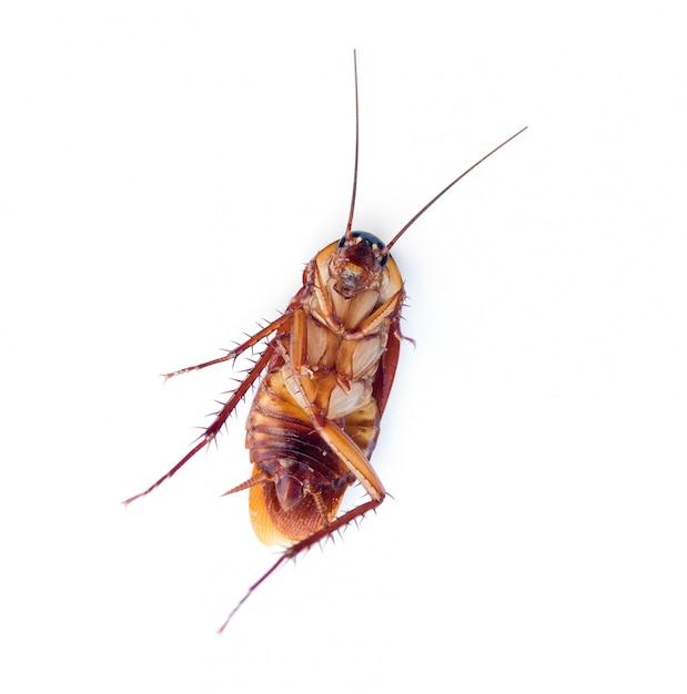 白い背景の上の死んだゴキブリ Premium写真