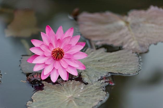 池の美しい蓮の花、蓮の水滴 Premium写真