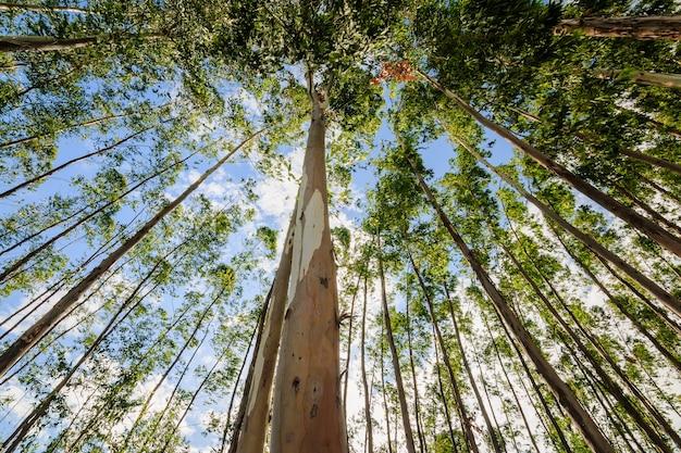 ユーカリの木 Premium写真