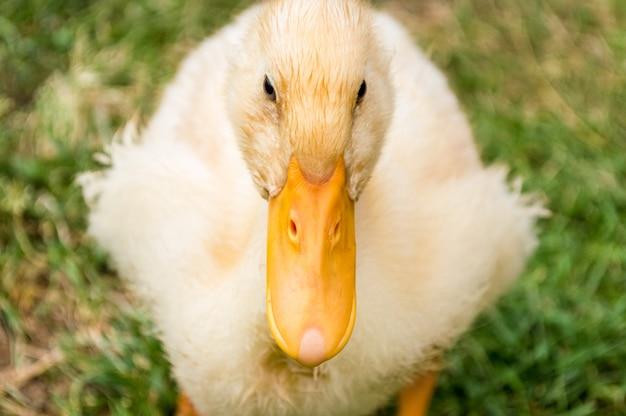 ぼやけて緑の芝生に黄色いアヒルの子のクローズアップ Premium写真